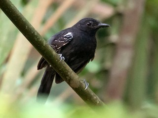 - Black Antbird