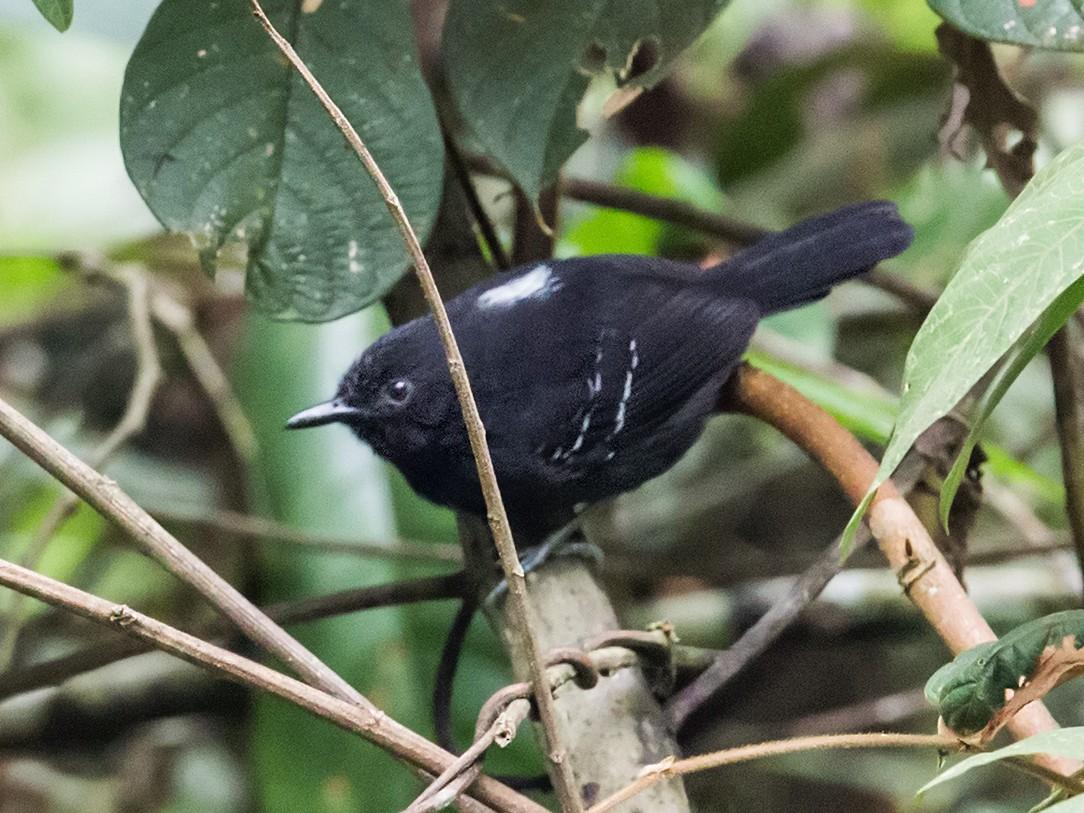 Black Antbird - Nick Athanas
