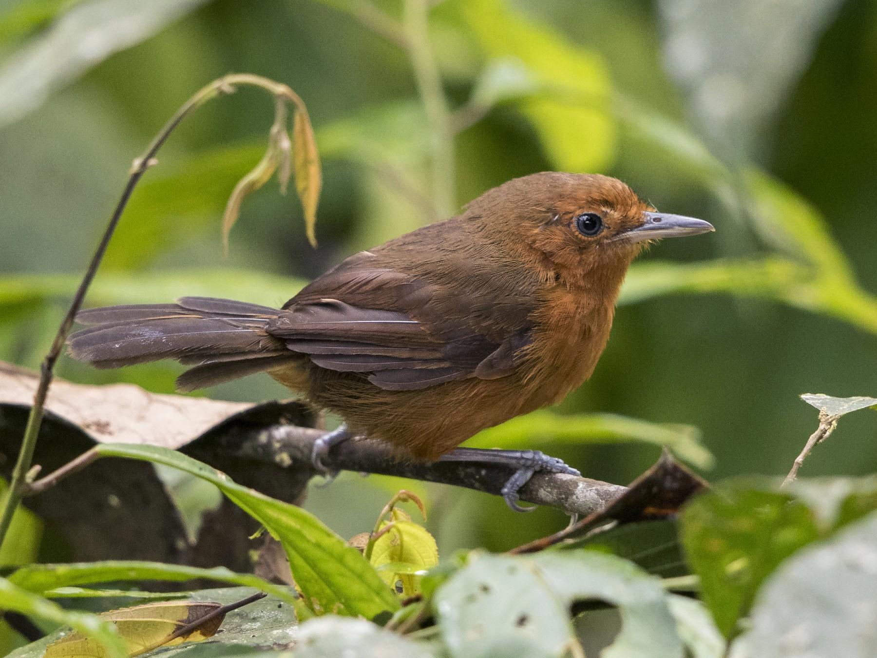 Black Antbird - Peter Hawrylyshyn