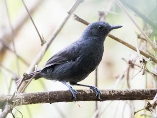 - Riparian Antbird