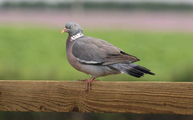 Common Wood-Pigeon (White-necked)
