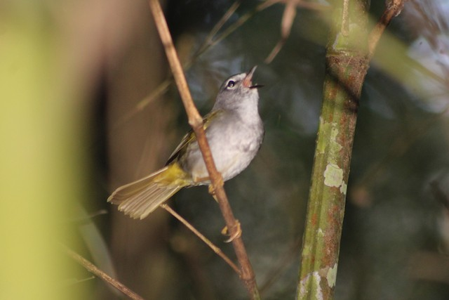 White-browed Warbler