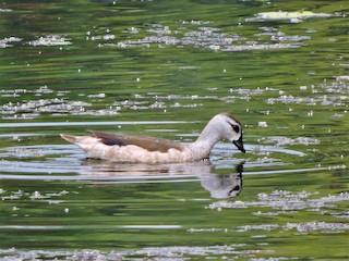 Cotton Pygmy-Goose, ML165565711