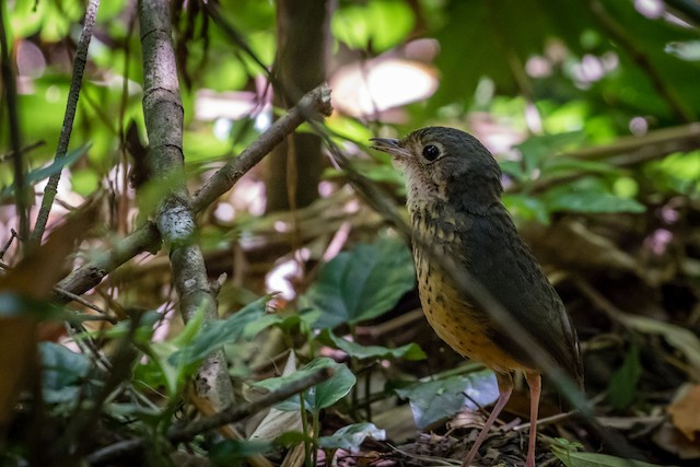 Speckle-breasted Antpitta