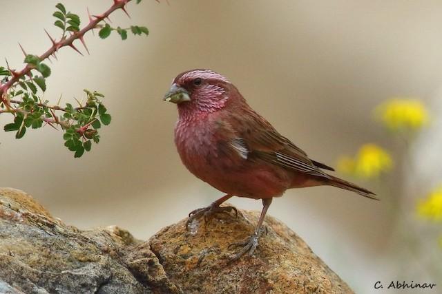 Blyth's Rosefinch