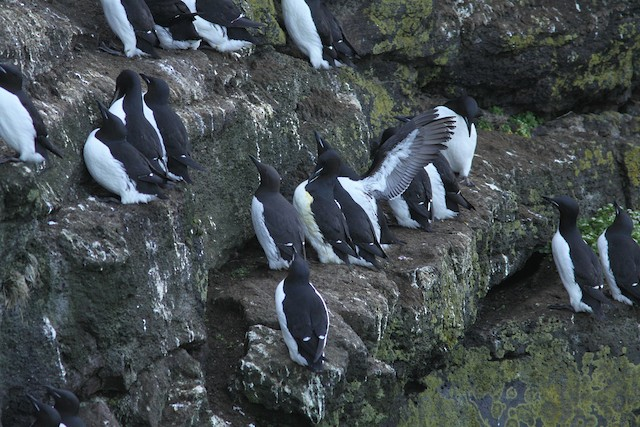 Common Murres and Thick-billed Murres.