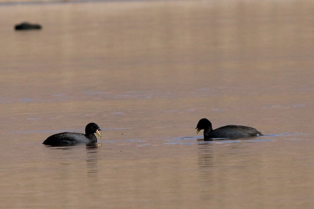 Horned Coot