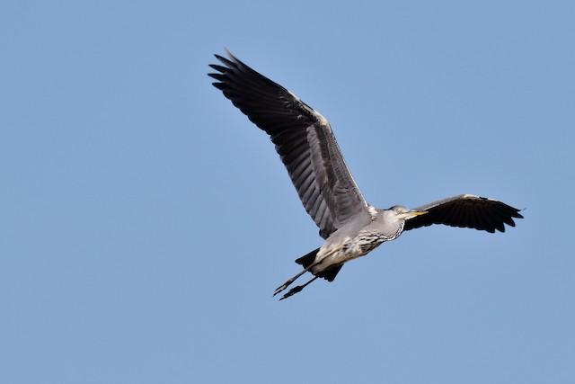 Gray Heron