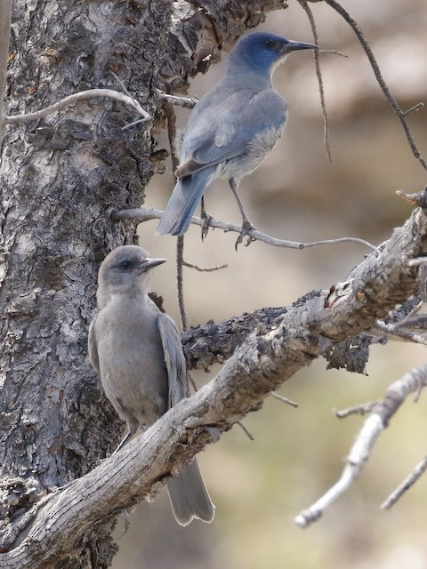 Adult Pinyon Jay with juvenile.