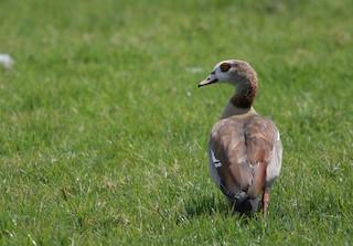 Egyptian Goose, ML166179651