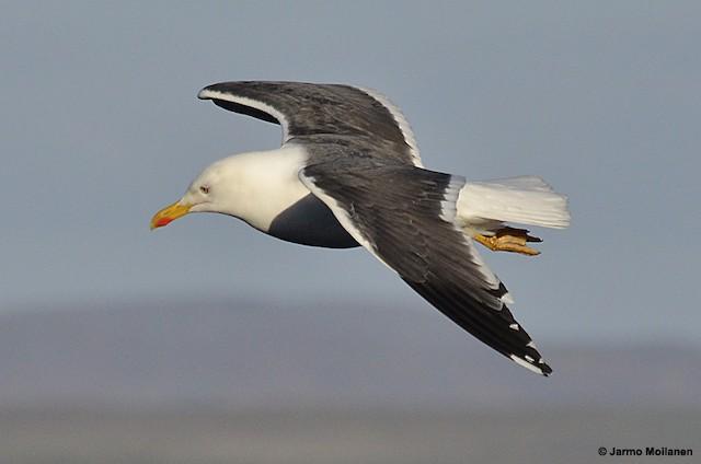 Lesser Black-backed Gull (graellsii)