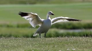 Snow Goose, ML166429761