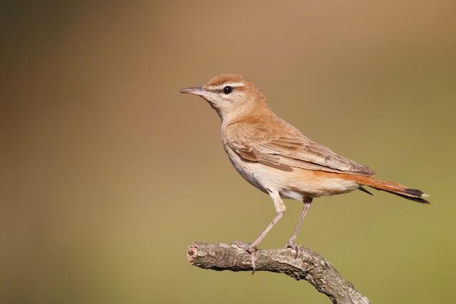 ©Tiago Guerreiro - Rufous-tailed Scrub-Robin (Rufous-tailed)