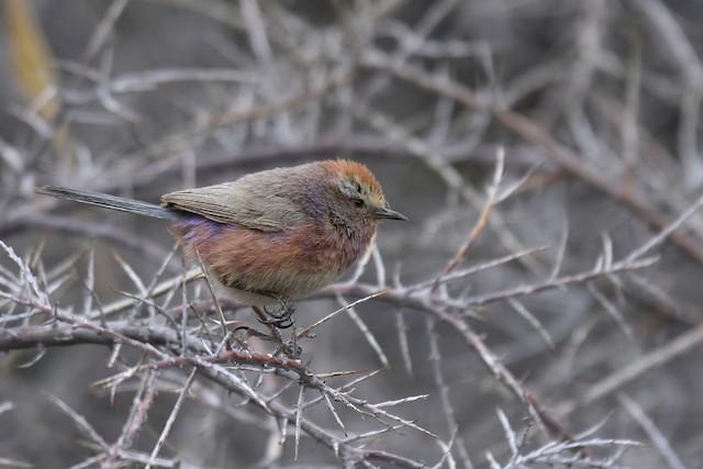 ©Rajesh Panwar - White-browed Tit-Warbler
