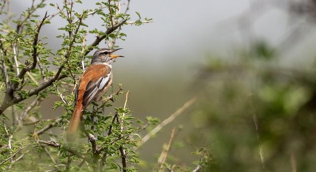 Red-backed Scrub-Robin (White-winged)