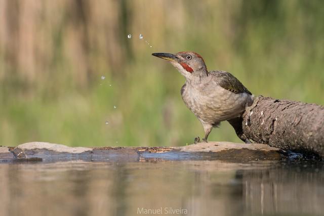 ©Manuel Silveira - Iberian Green Woodpecker
