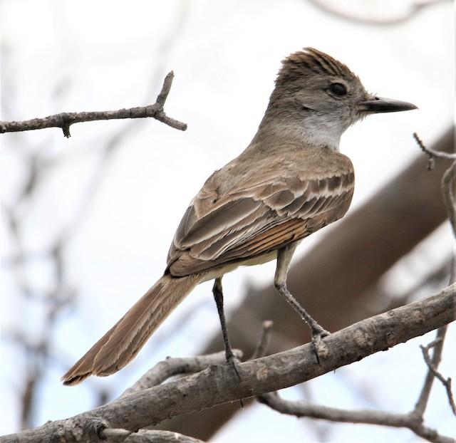 Brown-crested Flycatcher (Arizona)