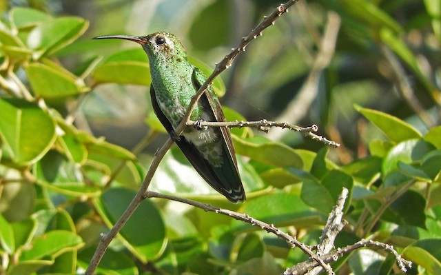 Green-tailed Goldenthroat