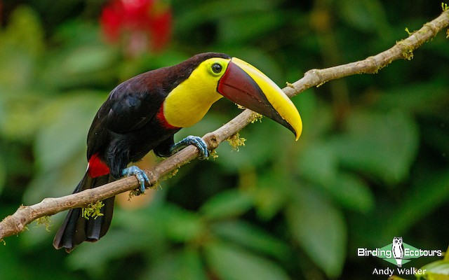 Yellow-throated Toucan (Chestnut-mandibled)