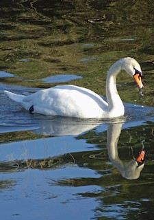 Mute Swan, ML167083421