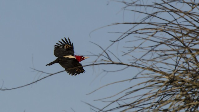 Cream-backed Woodpecker
