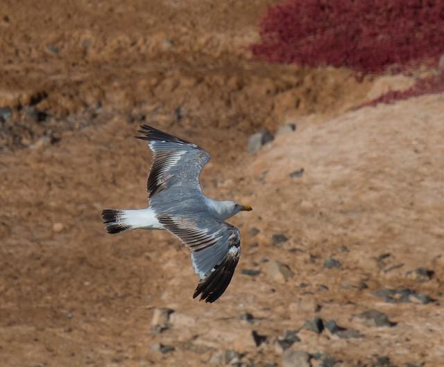 Yellow-legged Gull (atlantis)