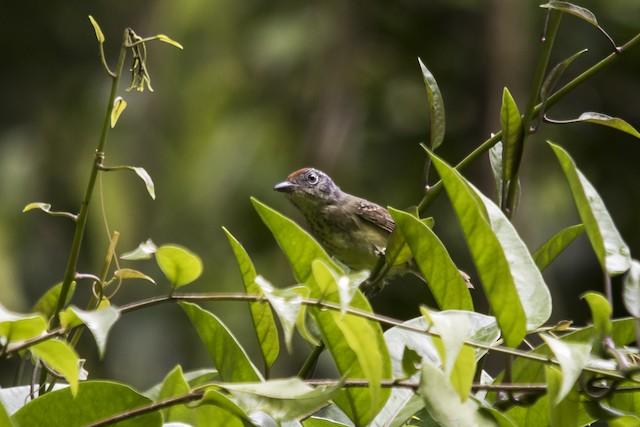 Spot-breasted Antvireo