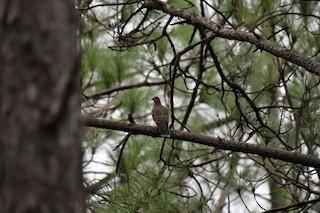 Oriental Turtle-Dove, ML167662821