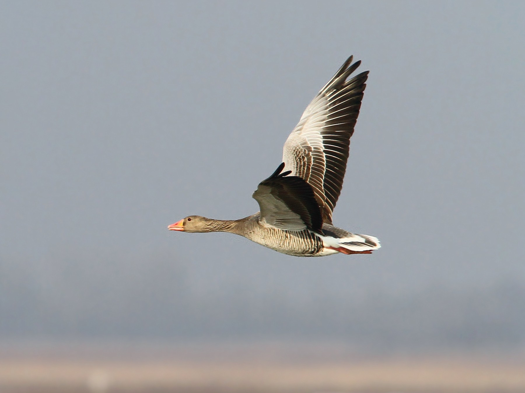 Graylag Goose - Christoph Moning