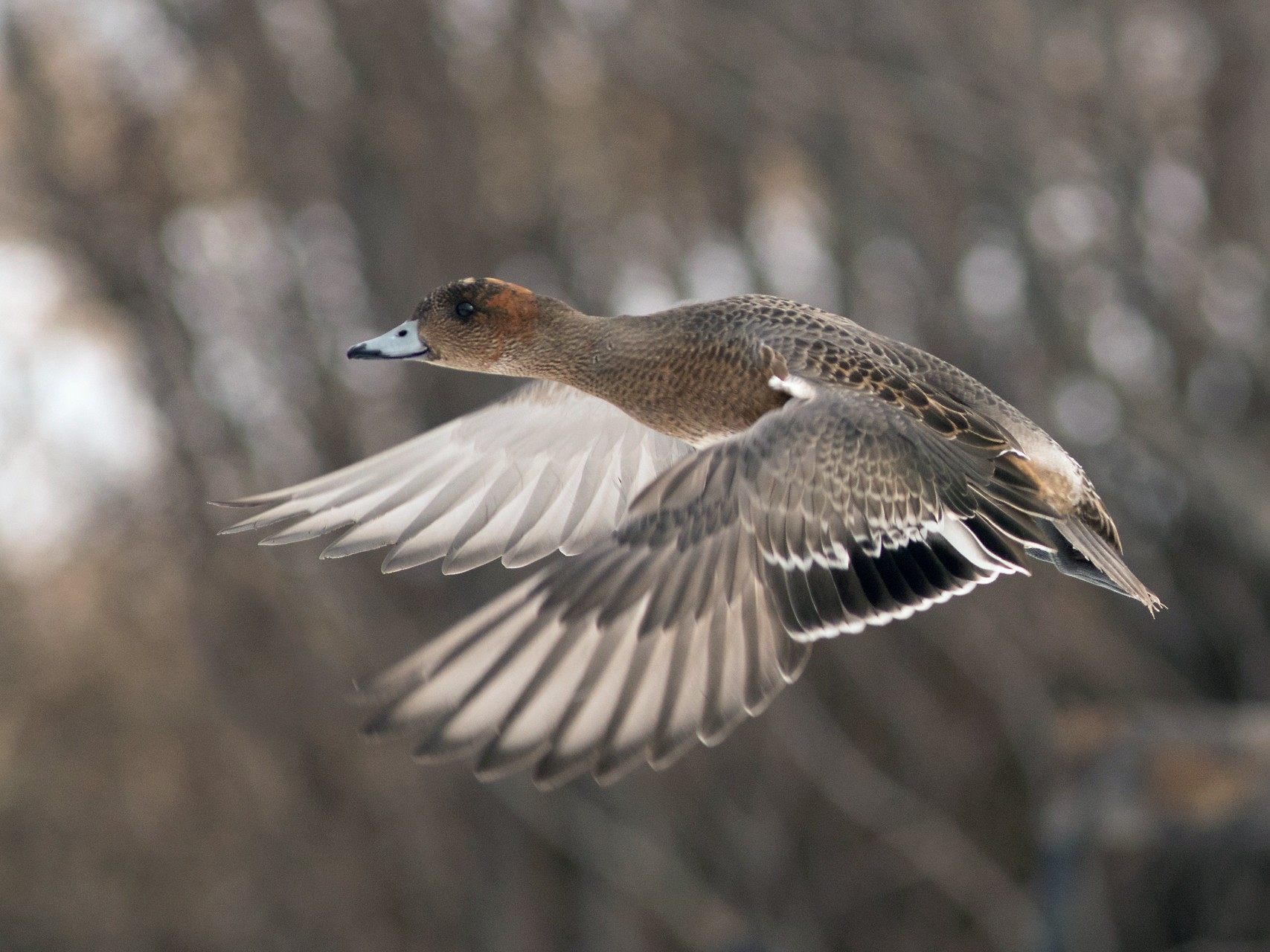 Eurasian Wigeon - Geoff Smith