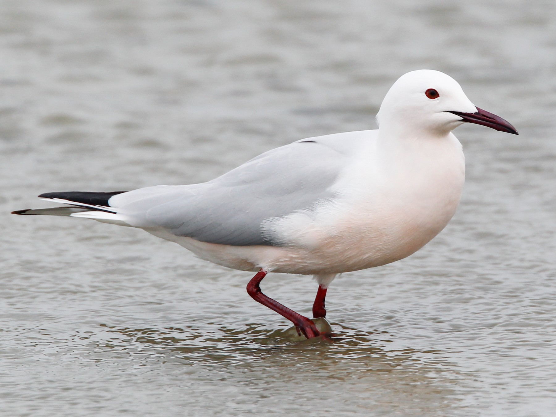 Slender-billed Gull - Ian Davies