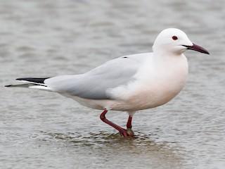 - Slender-billed Gull