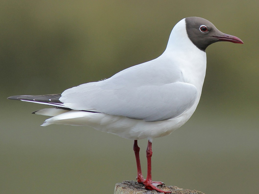 Black-headed Gull - Adrien Mauss