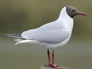 - Black-headed Gull