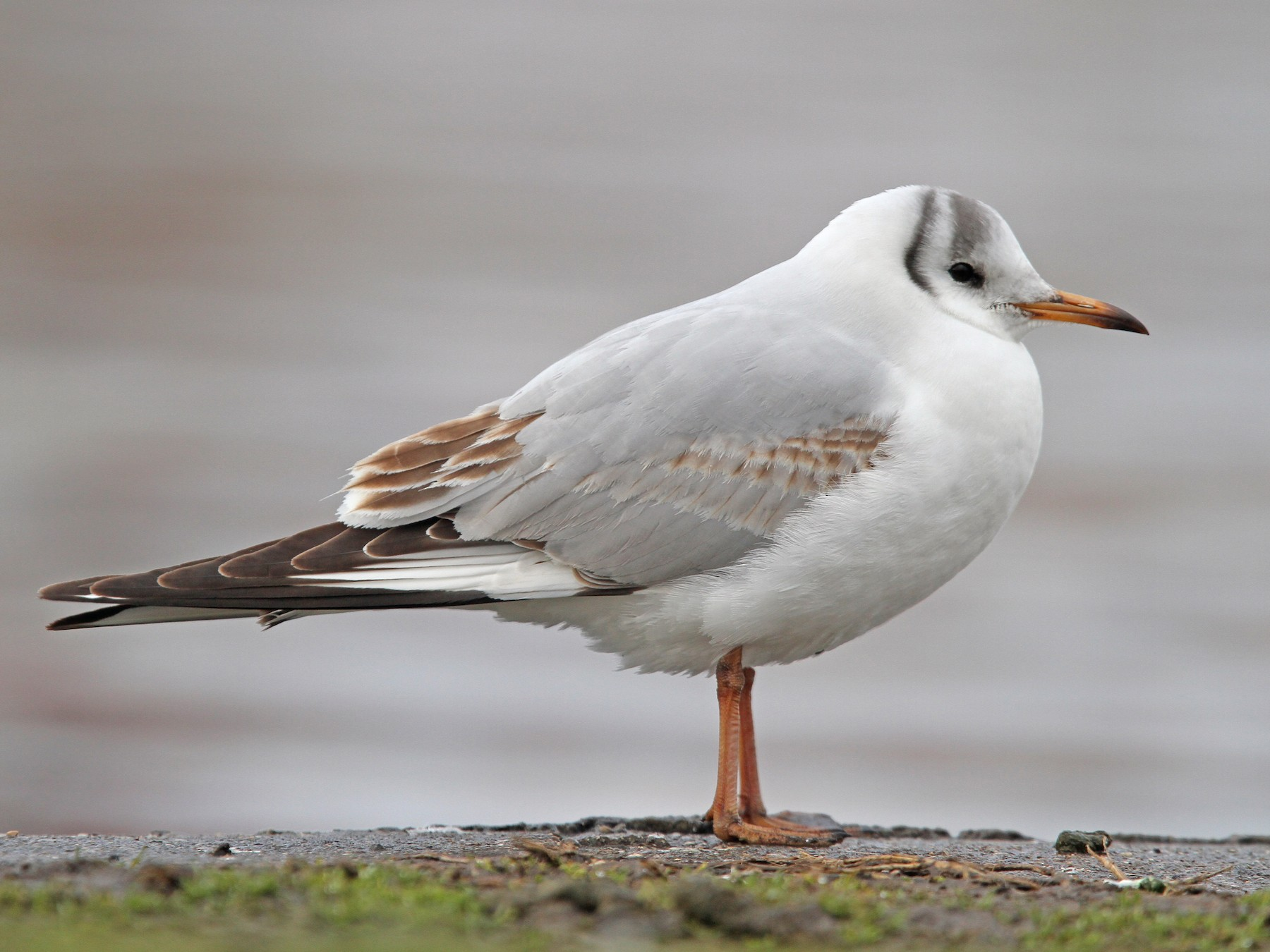 Black-headed Gull - Christoph Moning