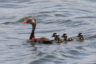 Black-bellied Whistling-Duck, ML167786141
