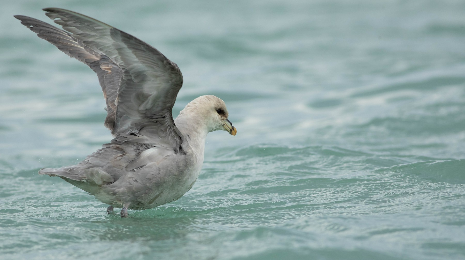 Northern Fulmar (Atlantic) - Doug Gochfeld