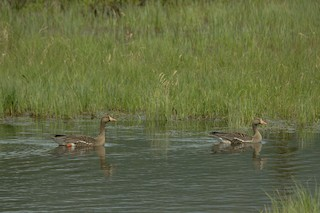 Greater White-fronted Goose, ML167861651