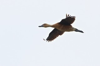 Fulvous Whistling-Duck, ML167946771