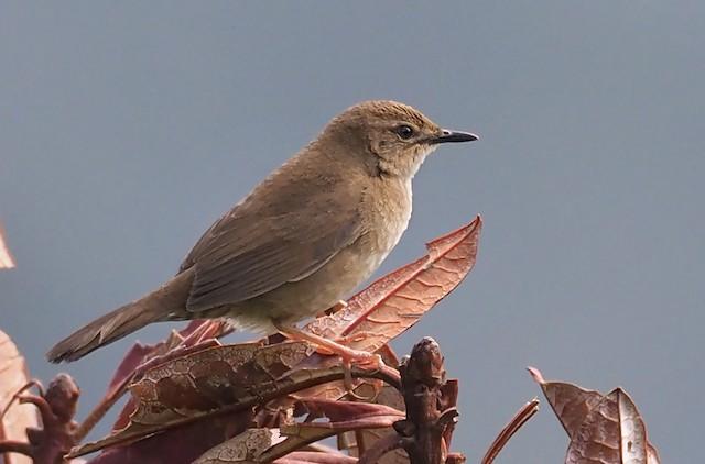 West Himalayan Bush Warbler