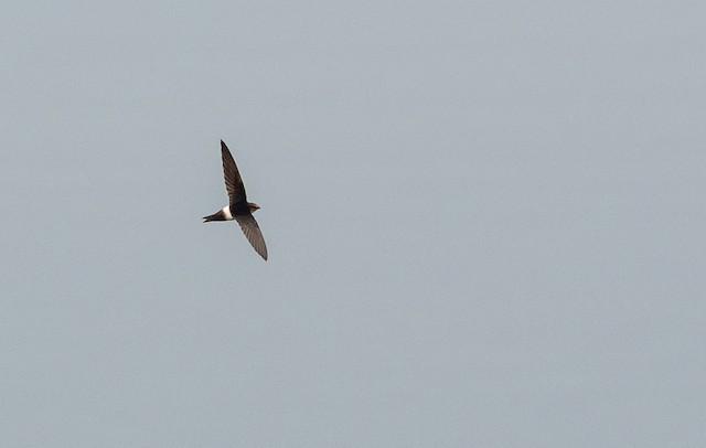 Horus Swift