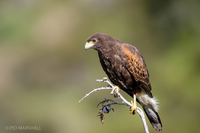 Harris's Hawk