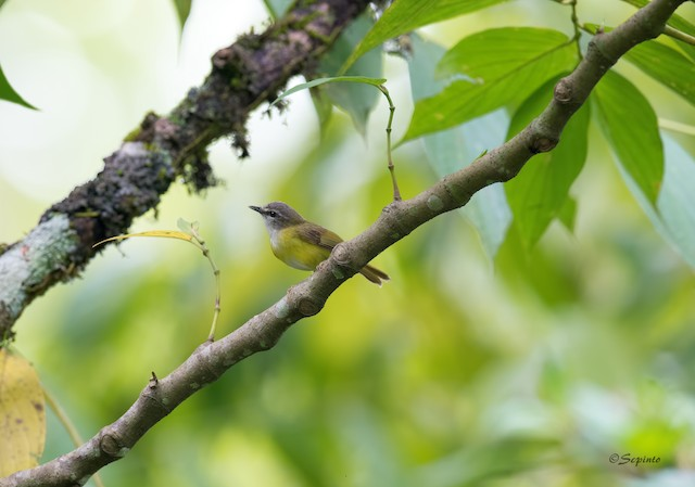 Yellow-bellied Warbler
