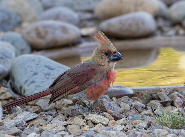 Juvenile Northern Cardinal (presumed subspecies <em>superbus</em>).