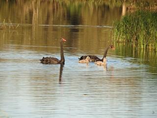 Black Swan, ML168433731