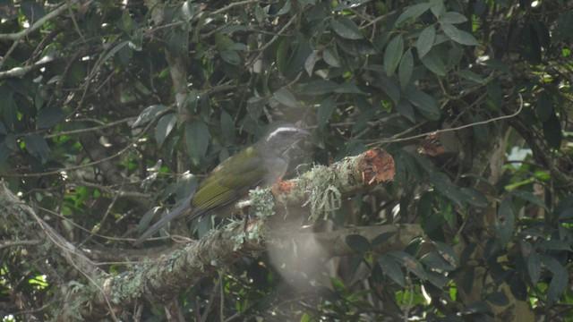 Green-winged Saltator