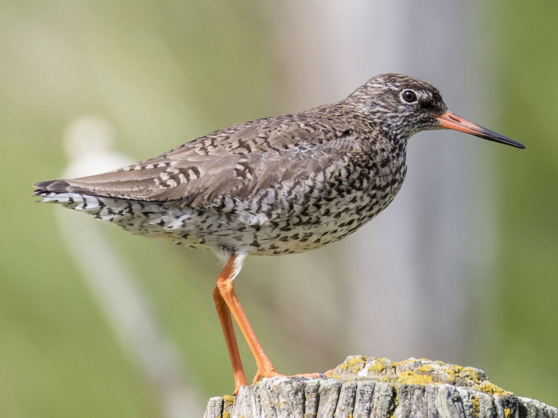 Common Redshank - Mouser Williams
