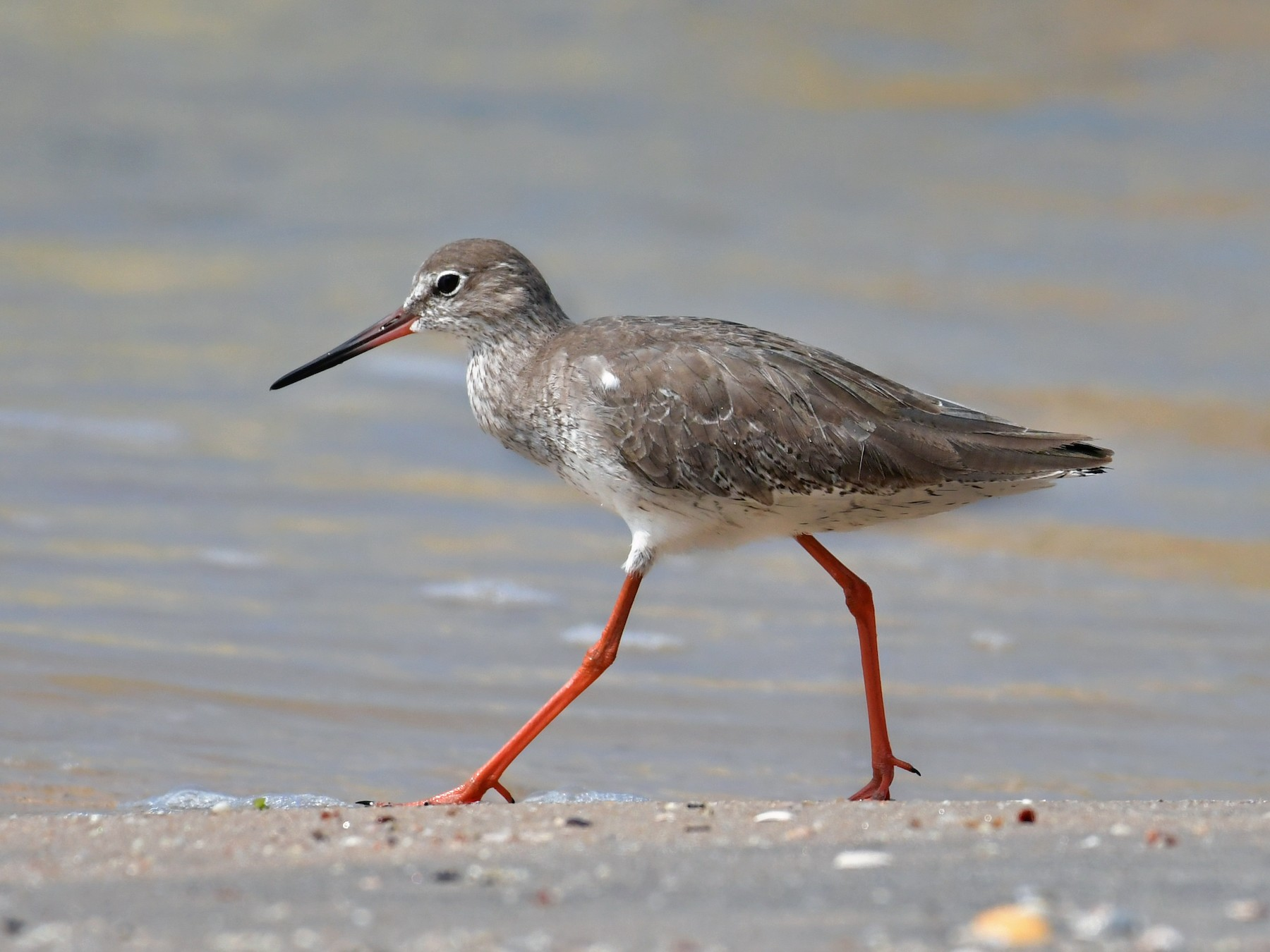 Common Redshank - Dr Jishnu R