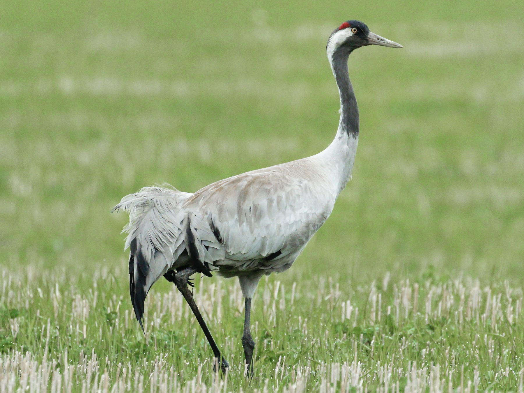Common Crane - James Kennerley 🦄
