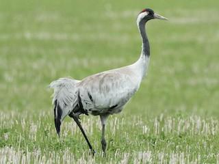 - Common Crane